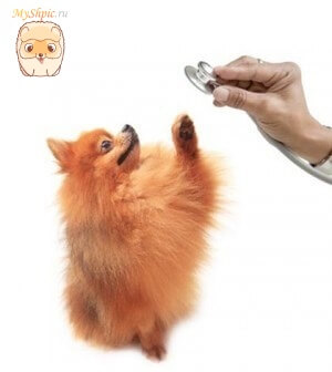 Профилактические прививки для померанского шпица